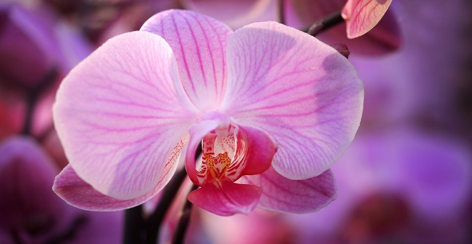 Pink Zoomed in Orchid
