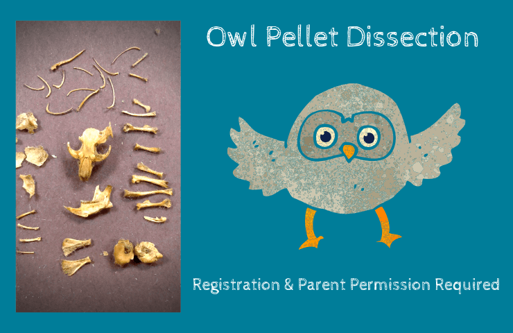 Owl Pellet Dissection with small animal skeleton and an owl