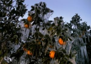 Winter in Florida with an orange-producing plant frozen over